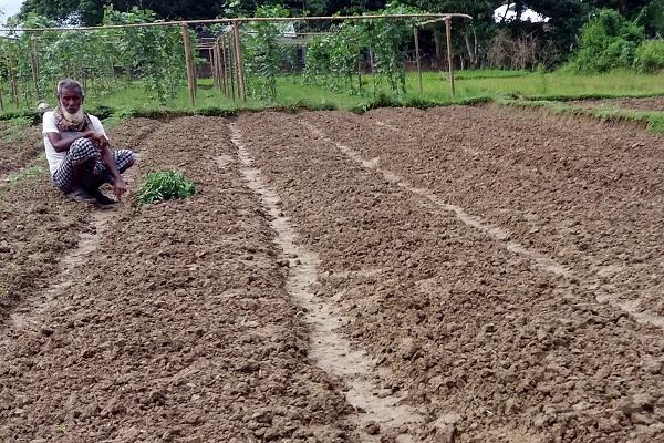 ওসমানীনগরে কৃষকের ১ হাজার টমেটোর চারা চুরি
